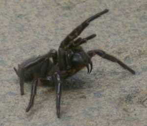 Funnel-web